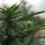 A Theory Of Harvesting Marijuana By Drones