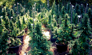 Marijuana Laws in Australia: A Quick Look